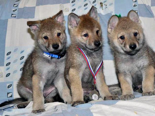 Щенки Чехословацкой волчьей собаки